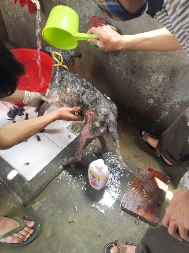 Những chú chó bị bệnh tật được anh Sơn mang về tắm rửa, chăm sóc cẩn thận