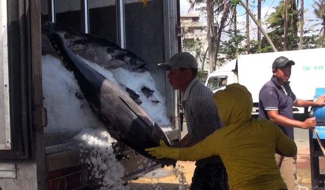 Cá ngừ đại đương được đưa lên xe đông lạnh