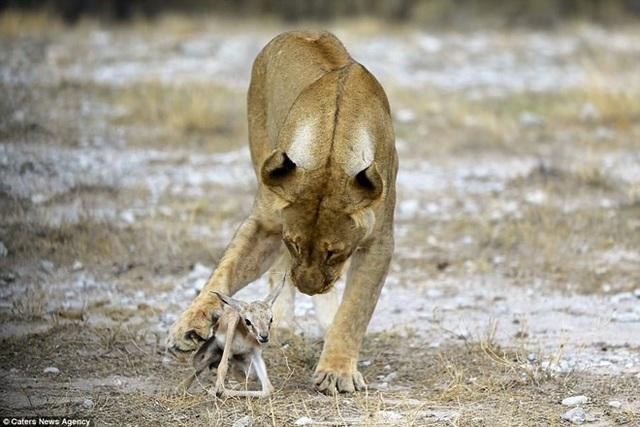 Con sư tử cái ôm ấp, che chở cho linh dương. (Nguồn: Caters News)