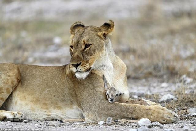 Được biết, gia đình của con linh dương đã bị một chú sư tử đực ăn thịt. (Nguồn: Caters News)