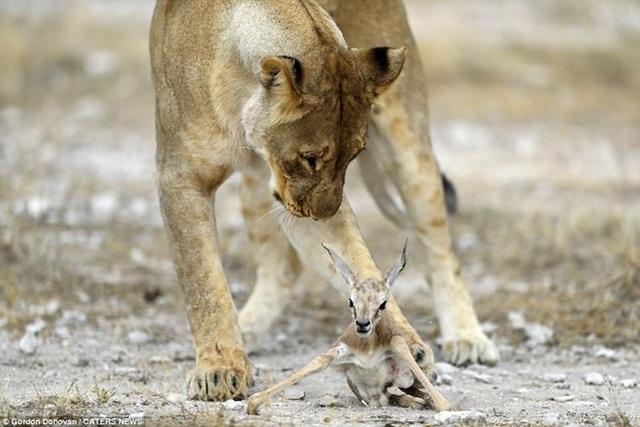 Con sư tử cái thậm chí còn bảo vệ linh dương con khỏi một cặp sư tử khác. (Nguồn: Caters News)
