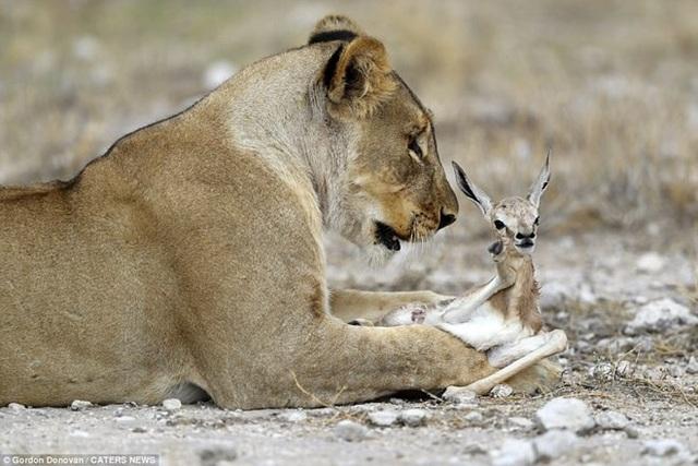 Sư tử gây sửng sốt khi chăm sóc linh dương như con đẻ - 5