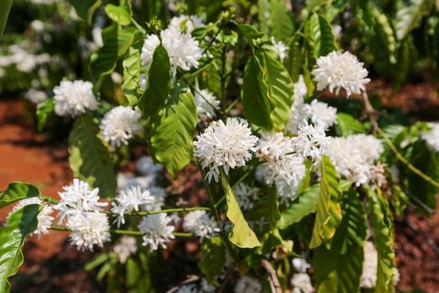 Hoa cà phê nở bung báo hiệu cho một vụ mùa bội thu. (Ảnh: TTXVN)