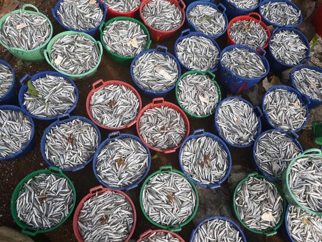 Cá cơm đầu mùa tươi ngon nên có bao nhiêu cũng được thu mua hết với giá cá tăng 2.000 - 3.000 đồng/kg so với năm trước