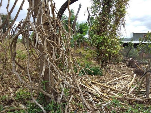 Các vườn tiêu đều chung biểu hiện chết dần dần rồi khô cả vườn