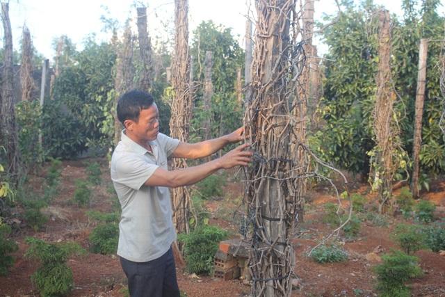 Chỉ hơn 2 năm đã có hơn 1600 trụ tiêu của gia đình ông Nguyễn Đình Nhiên (53 tuổi, xã Ia Blứ, Chư Pưh) chết trắng