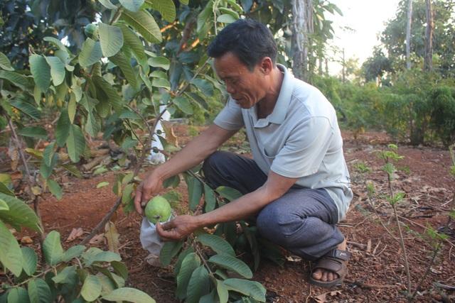 Các cây ăn quả được người dân lựa chọn, nhưng họ vẫn hy vọng được chính quyền tư vấn để không phải theo vết xe đổ như cây tiêu.