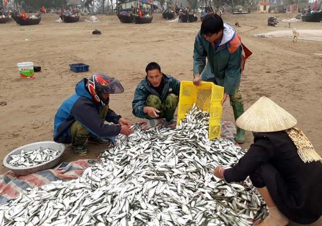 Mỗi mẻ lưới thu được lượng lớn cá trích, giá bán cũng cao nên người dân bội thu