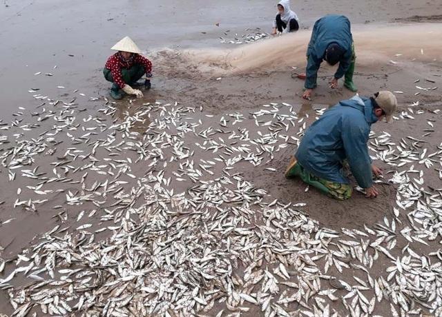 Mỗi ngày, ngư dân kiếm tiền triệu từ cá trích