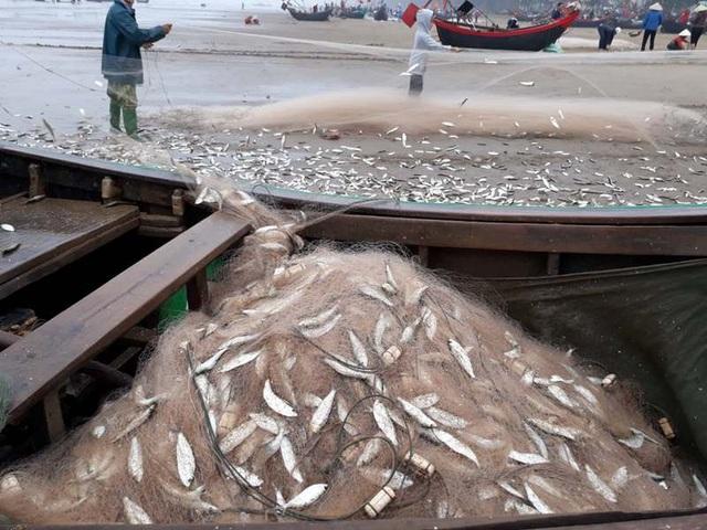 Những mẻ lưới đầy cá trích
