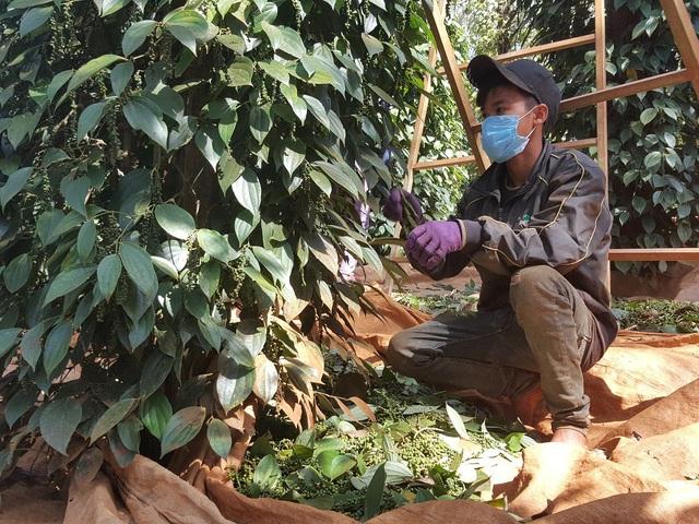 Nhân công ít, giá cao khiến việc thu hoạch gặp nhiều khó khăn