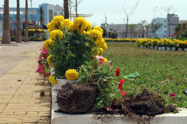 Hoa bị nhổ bỏ vứt ra ngoài để lấy chậu