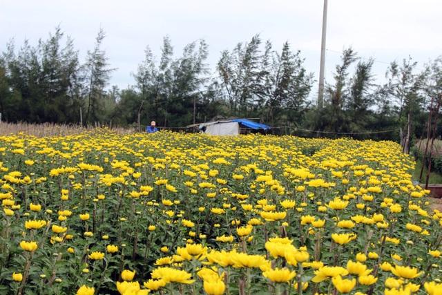 Hàng ngàn chậu cúc tết của nông dân phường 9 và xã Bình Kiến nở rộ trước tết.