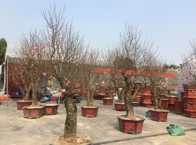 Những gốc đào phai ghép đã được trồng vào chậu có giá không dưới 10 triệu đồng/cây tại hội chợ hoa xuân, quảng trường Lam Sơn, thành phố Thanh Hóa.