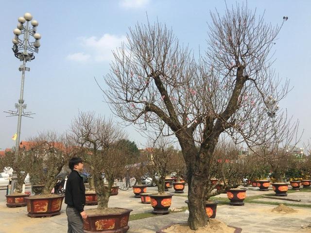 Nhiều người xem trầm trồ trước vẻ đẹp của cây đào khủng và cũng choáng ngợp trước mức giá khoảng 50 triệu đồng/cây.