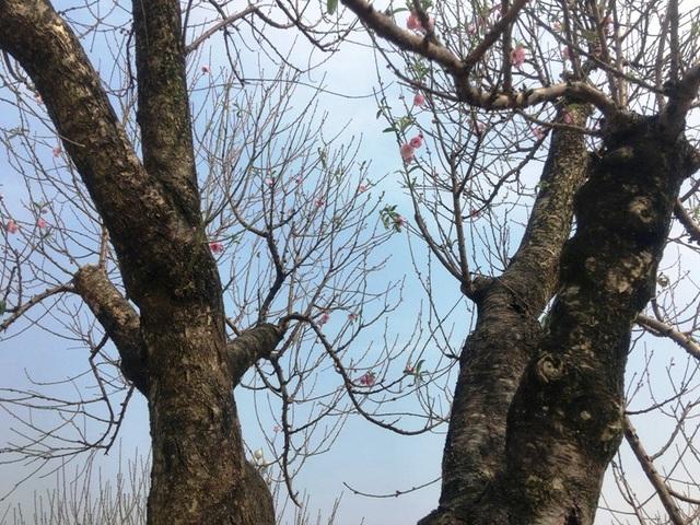 """Những cây """"đào khủng"""" giá hàng chục triệu đồng ở hội chợ hoa xuân Thanh Hoá - 14"""