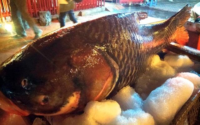 Đây là con cá hô do các ngư dân Campuchia đánh bắt được rồi bán cho thương lái và vận chuyển bằng đường hàng không về Thủ đô Hà Nội.