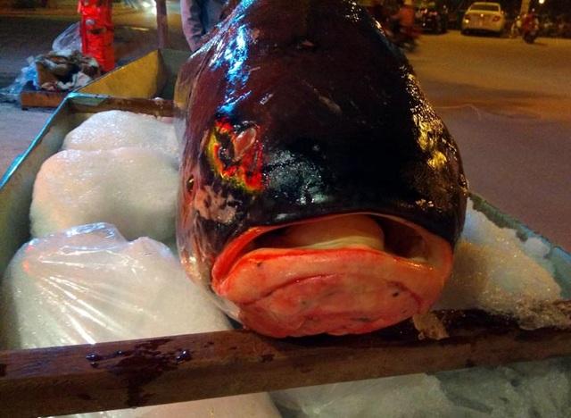 Ghi nhận của phóng viên, cá hô đỏ có hình dáng giống cá chép, vảy dày, màu đỏ.