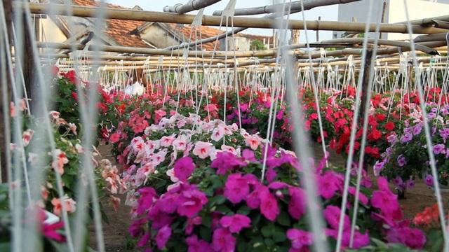 Vườn hoa của ông Năm Đồng lên đến hàng ngàn chậu, với đủ loại hoa màu sắc sặc sỡ.