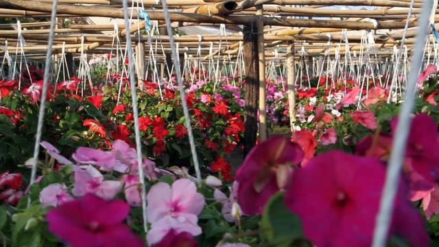 Hoa chỉ phát triển trong thời gian giữa mùa đông với mùa xuân