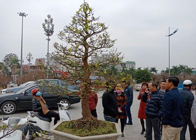 """Đại gia Ninh Bình """"rinh"""" cây mai khủng gần 200 triệu về chơi Tết - 3"""