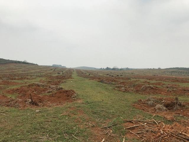 Cả vùng đất rộng hơn 50ha với bạt ngàn cao su đã bị thanh lý sạch chỉ sau một thời gian rất ngắn.