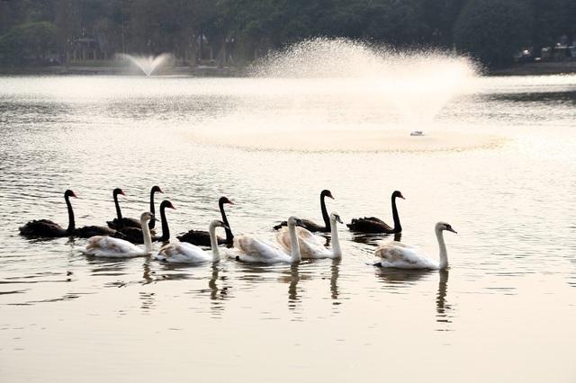 Đàn thiên nga ở Hồ Gươm có 12 con, 7 con màu đen và 5 con màu trắng