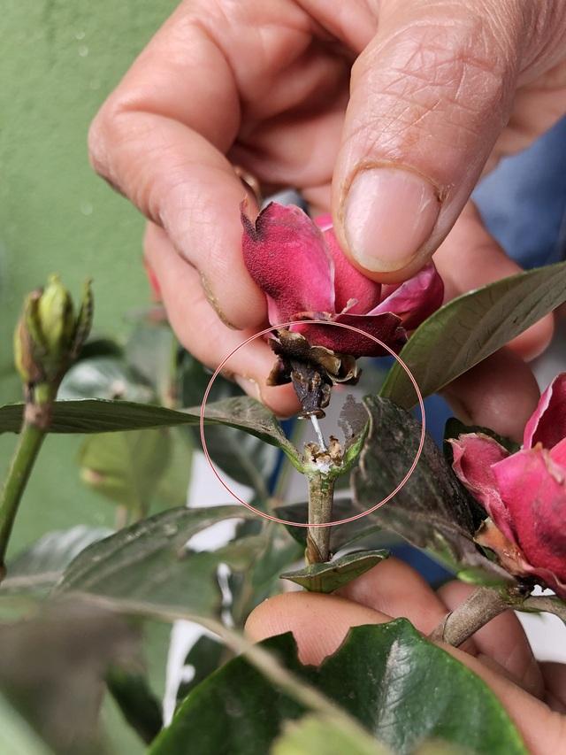 Nụ hoa được gắn vào cành bởi một đoạn dây kẽm nhỏ