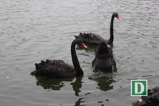 Những chú chim thiên nga ở hồ Thiền Quang sáng ngày 7/2 (Ảnh: Trần Thanh).