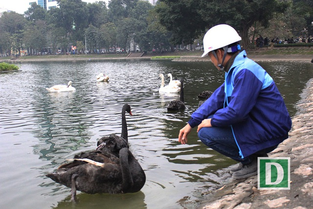 Nhiều người hiếu kỳ còn chạm được cả vào những chú chim thiên nga (Ảnh: Trần Thanh).
