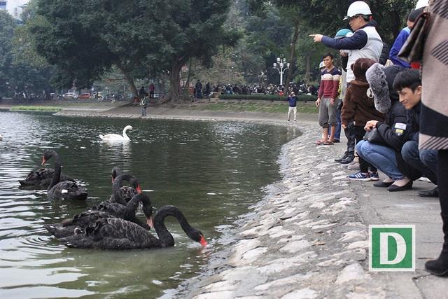 Những chú chim thiên nga tỏ ra khá bạo dạn ở môi trường sống mới, ăn cả những thức ăn mà người dân ném xuống (Ảnh: Trần Thanh).