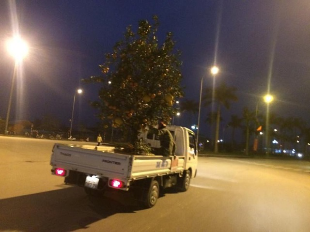 Những cây cảnh lớn thì phải dùng đến xe ô tô để vận chuyển