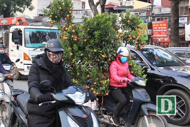 Người phụ nữ chở cả một cây quất lớn trong dòng xe cộ đông nghịt.