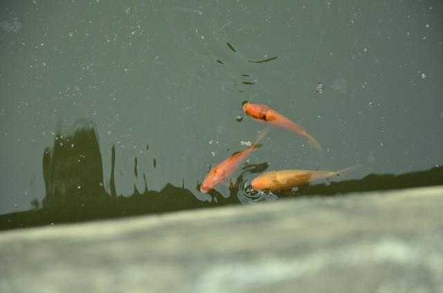 Những chú cá chép tung tăng bơi lội dưới kênh