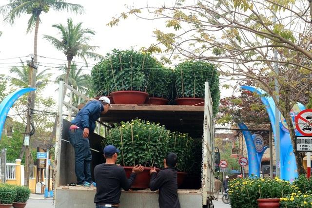 Các loại hoa cảnh cũng đã được vận chuyển đến TP Hội An để phục vụ người dân
