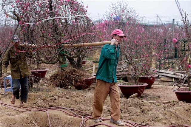 Nông dân đi đánh gốc đào thuê: Mỗi ngày kiếm tiền triệu - 1