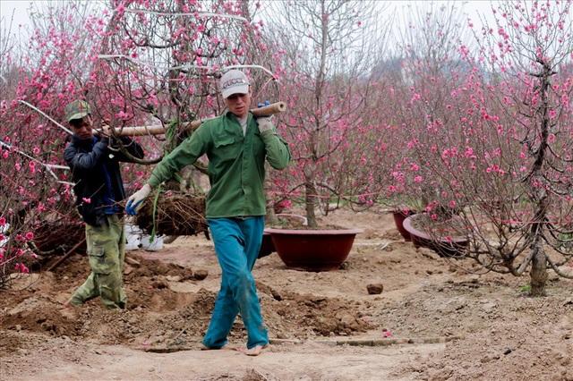 Công việc của họ chủ yếu là ban ngày đi đánh cây ban đêm lại di chuyển những cây đào này đến những nơi mua đào.