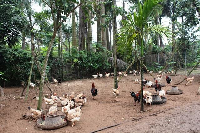 Các hộ nuôi gà ở đều quây và giữ gà khá chặt chẽ, vì vậy mà gà Móng ít bị lai tạp và giữ được độ thuần chủng tuyệt đối