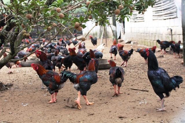 Đàn gà Móng Sách đỏ nuôi ở xã Tiên Phong, huyện Duy Tiên, tỉnh Hà Nam