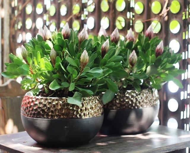 Hoa Protea rất hiếm thấy trên thị trường. Đây là những cây hoa Protea nguyên chậu hiếm hoi tại Việt Nam trong dịp Tết nguyên đán Mậu Tuất.