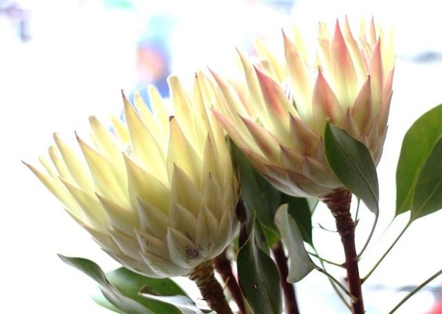 Hoa Protea có sức sống mạnh mẽ và bền bỉ.