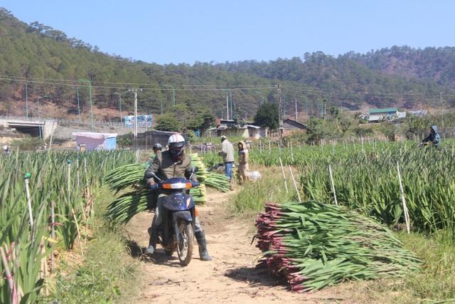 Hoa mới được thu hoạch sẽ được gom lại đưa về các vựa bằng xe máy