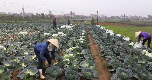 Cho nên người trồng rau cũng không mấy mặn mà (Ảnh: V.H)
