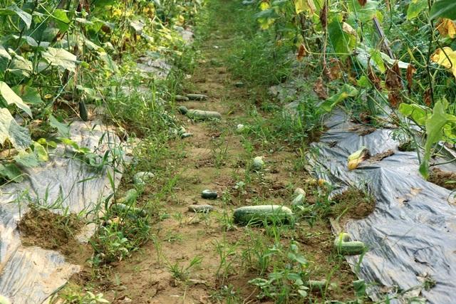 Nhiều ruộng dưa leo giá quá thấp chẳng ai buồn thu hái, trái rụng đầy gốc