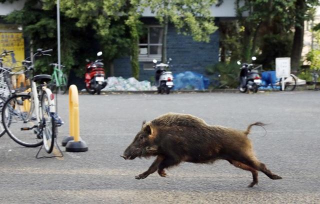 Một con lợn rừng xông vào ký túc xá Đại học Kyoto năm 2017 (Ảnh: Getty)