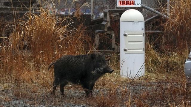 Một con lợn rừng đứng cạnh thiết bị đo phóng xạ hạt nhân ở thị trấn Futaba - nơi có nhà máy điện hạt nhân Fukushima Daiichi bị rò rỉ sau trận động đất năm 2011 (Ảnh: EPA)