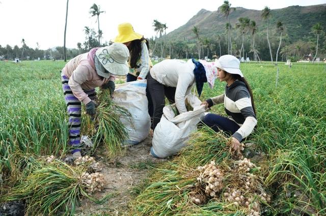 Vụ Đông - Xuân 2017 - 2018, huyện Lý Sơn gieo trồng 330 ha tỏi với tổng sản lượng ước đạt 3.000 tấn tỏi tươi