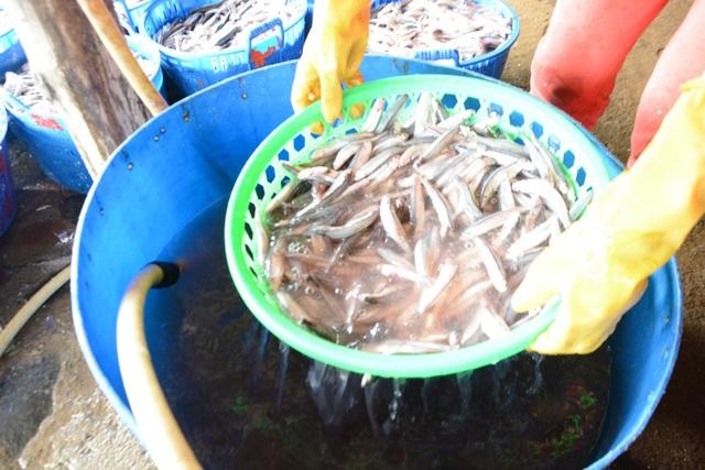 Cá cơm được rửa nhẹ nhàng sau đó đưa lên vỉ hấp