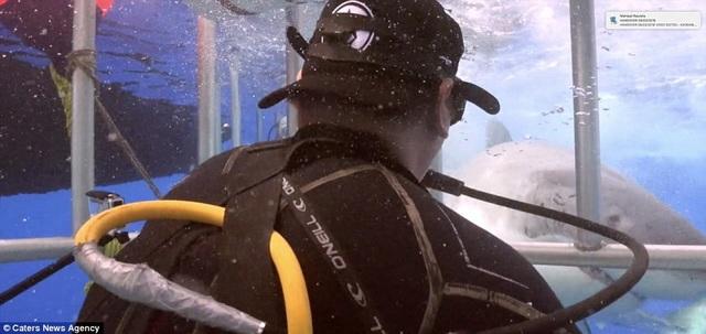 Cá mập trắng áp sát lồng sắt