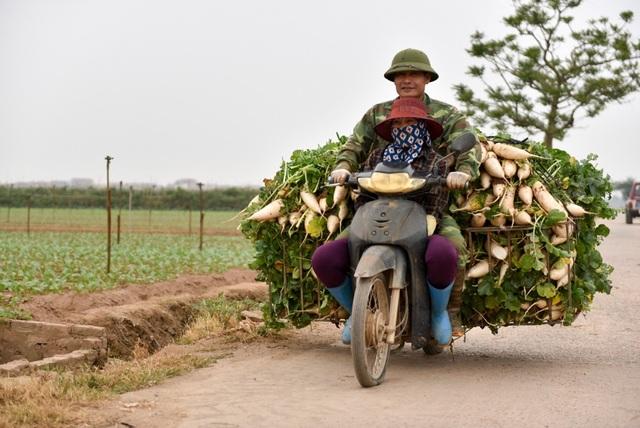 Hai vợ trồng nông dân thu hoạch những củ cải trắng hiếm hoi chưa quá lứa mang đi tiêu thụ.